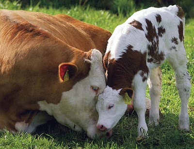 Mother cow and calf nuzzling