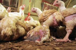 Sickly looking chickens in a factory farm setting