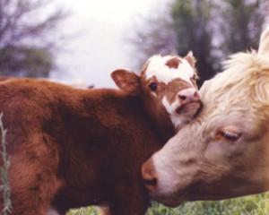 Sacrifice Cows