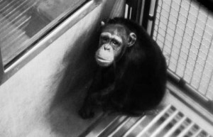 Chimpanzee Vivisection History