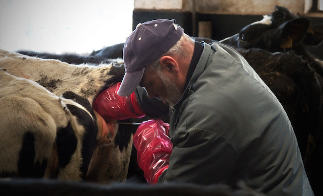 Man artificially inseminating a cow