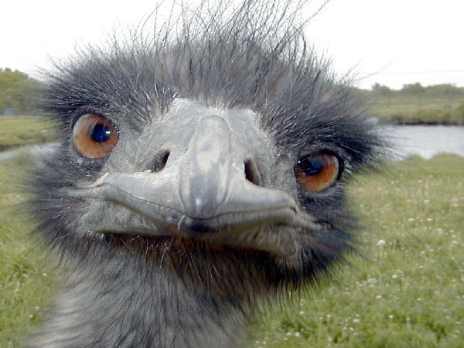 Closeup of emu face