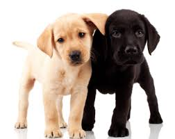 A golden lab puppy and a chocolate lab puppy facing the camera and leaning on one another