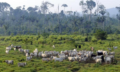 Landscape view of a cattle herd in a cleared rainforest area