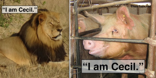 "Meme of Cecil the lion juxtaposed with a pig in a factory farm, both read, ""I am Cecil"""