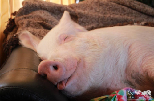 Sleeping pig on couch