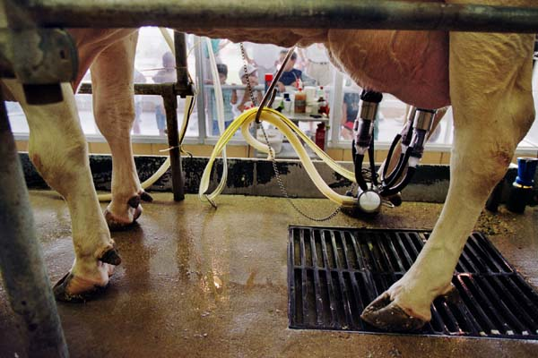 A cow being milked by machine