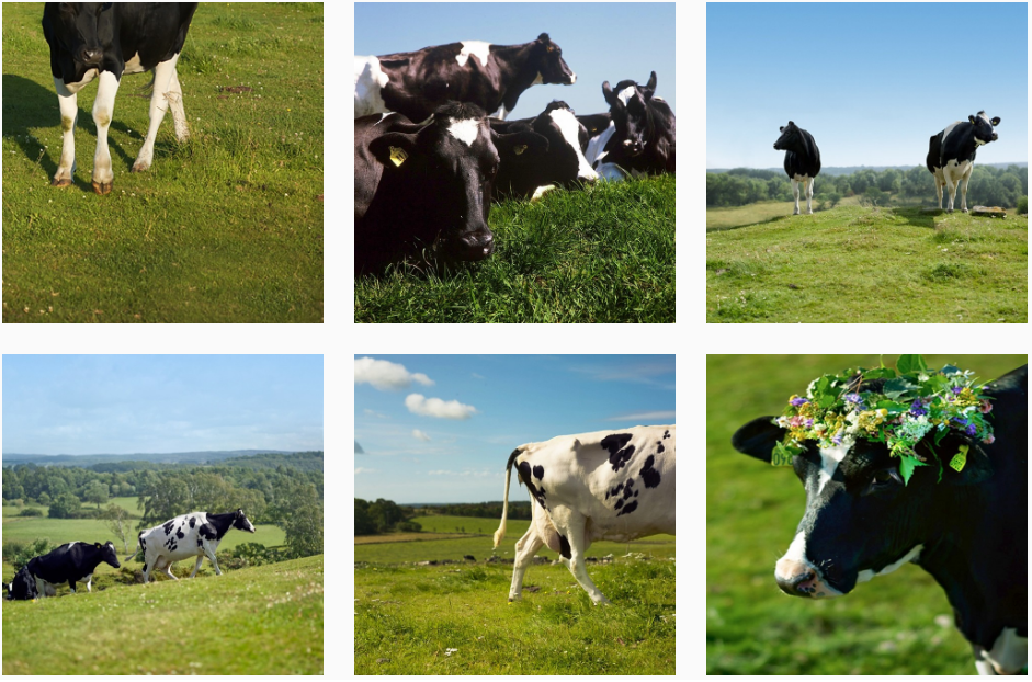 Images from Bergott including cows walking through fields, resting together, and wearing a wreath of flowers on their head