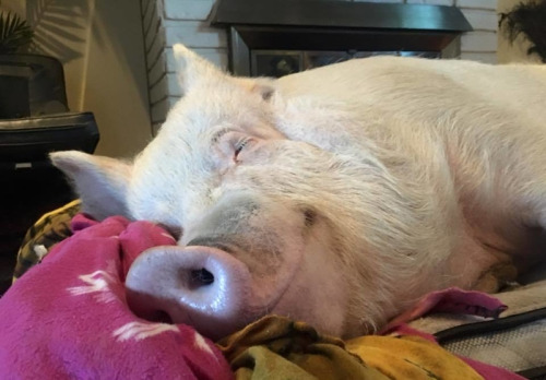 photo of Esther, The Wonder Pig who is napping with a highly content grin on her face.