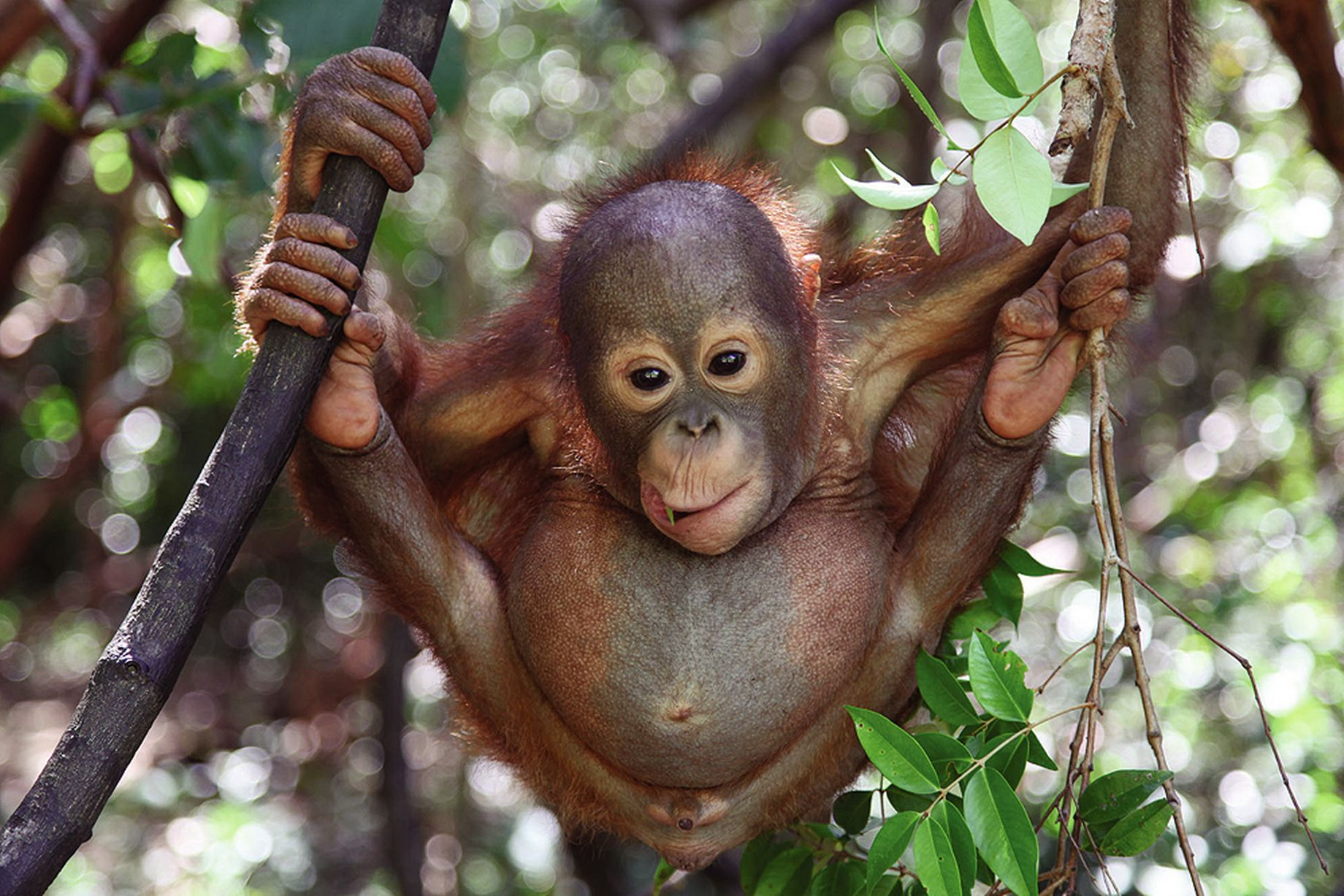 orangutan-orphan-palm-oil